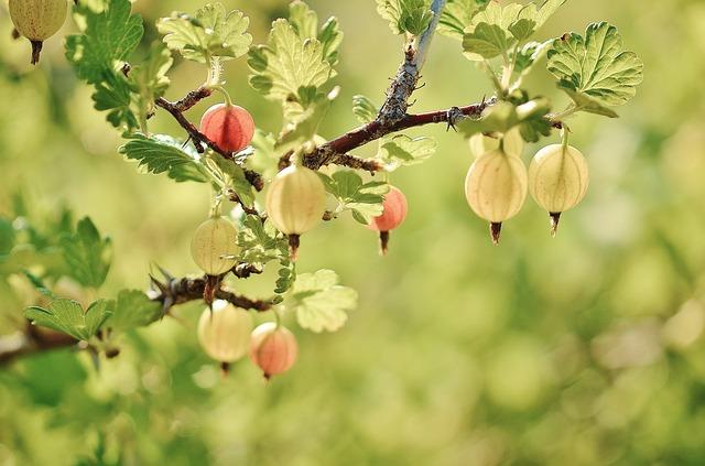 owoce agrest